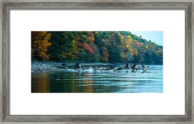 Canada Geese Taking Flight Framed Print by Steve Clough