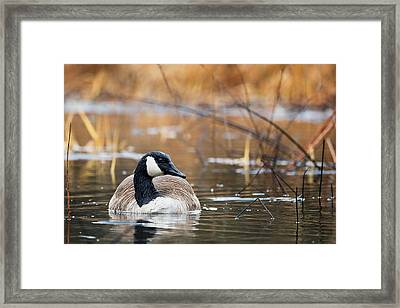 Canada Goose Framed Print by Bill Wakeley