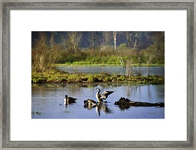 Canada Goose Dancing On Lake Framed Print by Christina Rollo