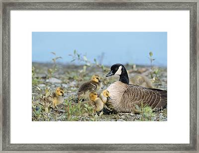Canada Goose Family Framed Print by Mark Newman