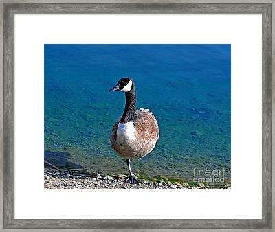 Canada Goose On One Leg Framed Print by Susan Wiedmann