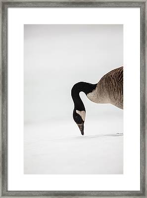 Canada Goose Point Framed Print by Karol Livote