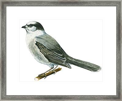 Canada Jay Framed Print by Anonymous