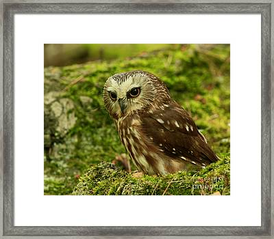Canada's Smallest Owl - Saw Whet Owl Framed Print by Inspired Nature Photography Fine Art Photography