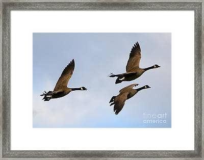 Canadian Geese Trio Framed Print by Mike Dawson