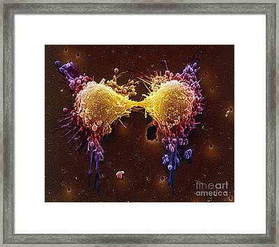 Cancer Cell Division Framed Print by SPL and Photo Researchers