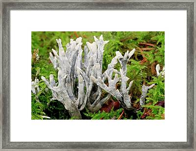 Candlesnuff Fungus Framed Print by John Wright