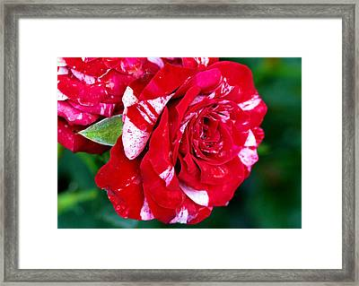 Candy Cane Rose Flower Framed Print by Johnson Moya