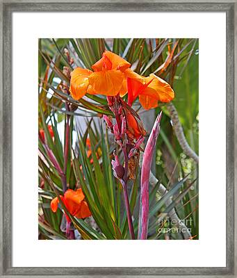 Canna Lily With New Growth Framed Print by Kenny Bosak