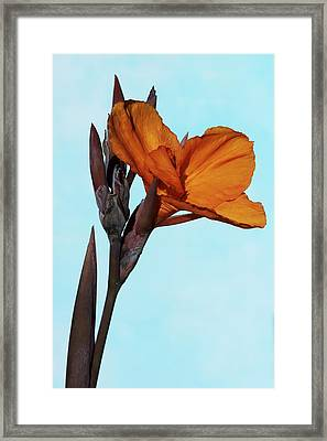 Canna X Generalis 'wyoming' Framed Print by Science Photo Library