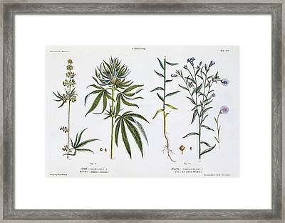Cannabis And Flax Framed Print by Matthias Trentsensky
