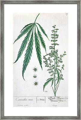 Cannabis Framed Print by Elizabeth Blackwell