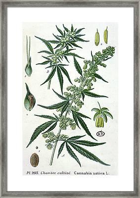 Cannabis Framed Print by French School