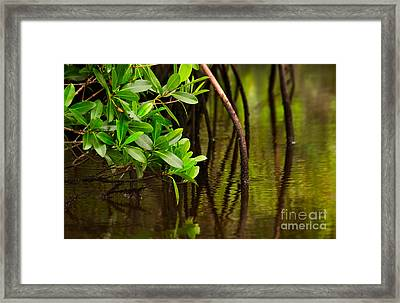 Canoeing Through Quiet Mangroves Framed Print by Matt Tilghman