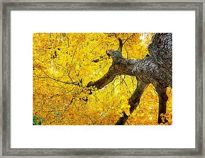 Canopy Of Autumn Leaves Framed Print by Tom Mc Nemar