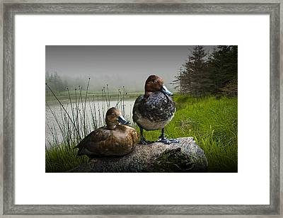 Canvasback Duck Pair By A Pond Framed Print by Randall Nyhof