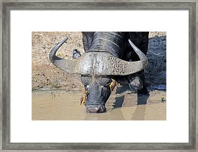 Cape Buffalo And Yellow-billed Oxpecker Framed Print by Bildagentur-online/mcphoto-schulz