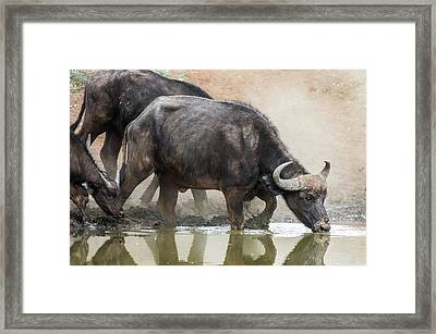 Cape Buffalo Cow Drinking Framed Print by Peter Chadwick