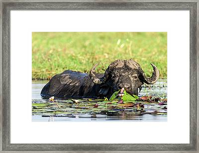 Cape Buffalo Feeding On Water Lilies Framed Print by Peter Chadwick