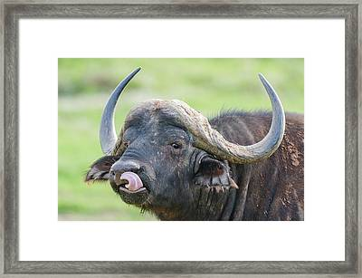 Cape Buffalo Licking Its Lips Framed Print by Peter Chadwick