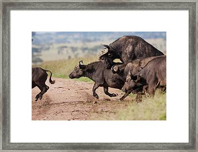Cape Buffalo (syncerus Caffer) Framed Print by Photostock-israel