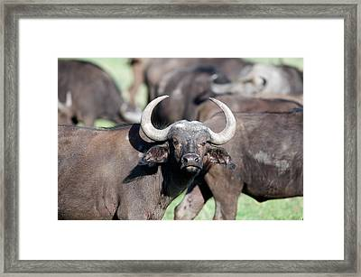 Cape Buffaloes Syncerus Caffer Framed Print by Panoramic Images