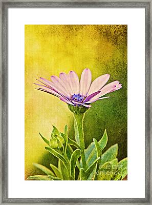 Cape Daisy Framed Print by Lois Bryan