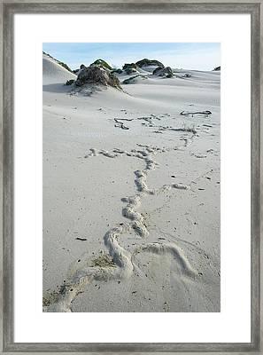 Cape Mole-rat Burrowing On Sandy Beach Framed Print by Peter Chadwick