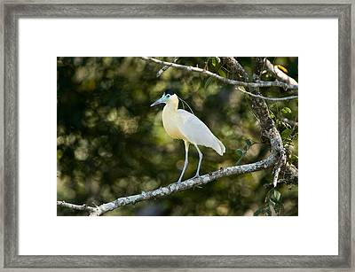 Capped Heron Pilherodius Pileatus Framed Print by Panoramic Images