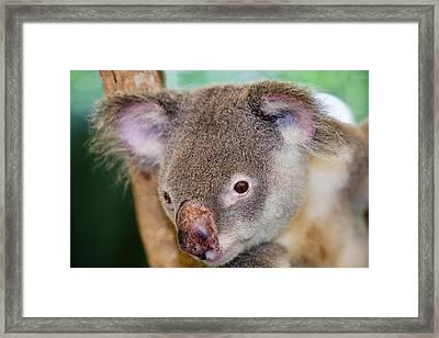 Captive Koala Bear Framed Print by Ashley Cooper