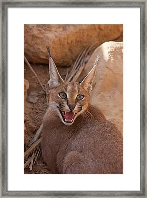 Caracal (caracal Caracal) Framed Print by Photostock-israel