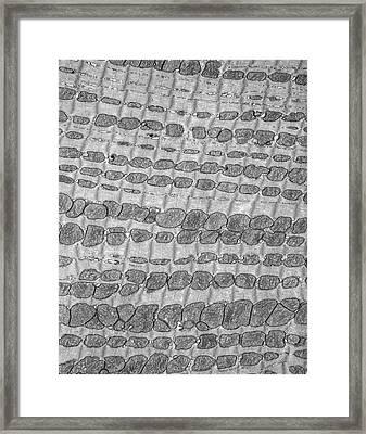 Cardiac Muscle Framed Print by Microscape