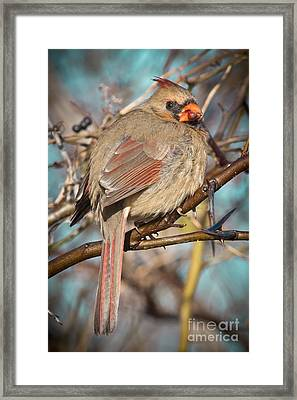 Cardinal Female Framed Print by Robert Frederick