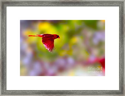 Cardinal In Flight Framed Print by Dan Friend