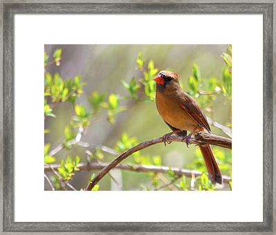 Cardinal In Spring Framed Print by Sandi OReilly