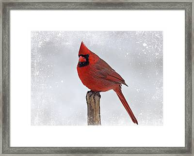 Cardinal Perching Framed Print by Sandy Keeton