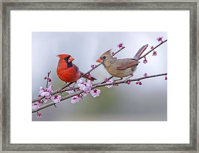Cardinals In Plum Blossoms Framed Print by Bonnie Barry