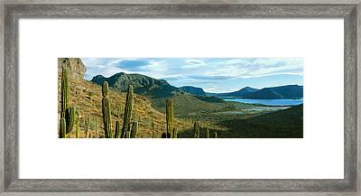 Cardon Cactus Plants At Hillside Framed Print by Panoramic Images