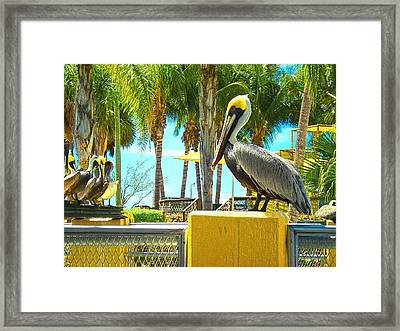 Caribbean Brown Pelican Framed Print by Sandra Pena de Ortiz