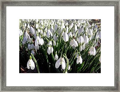 English Snowdrop Carpet Framed Print by Online Presents