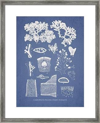 Carpopeltis Rigida Framed Print by Aged Pixel