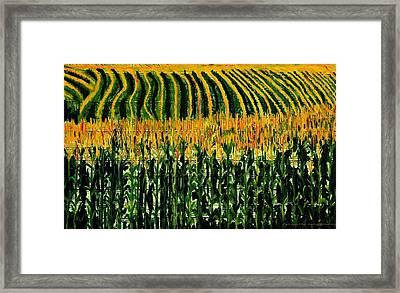Cash Crop Corn Framed Print by Gregory Allen Page