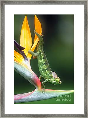Casque-headed Chameleon Framed Print by Art Wolfe