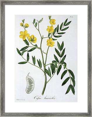 Cassia From Phytographie Medicale Framed Print by L.F.J. Hoquart