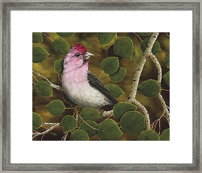 Cassins Finch Framed Print by Rick Bainbridge