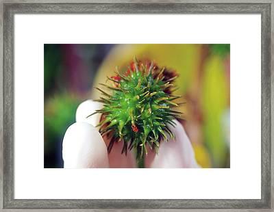 Castor Bean Pod Framed Print by Brian Prechtel/us Department Of Agriculture