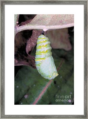 Caterpillar Changing Into Chrysalis Framed Print by Millard H. Sharp