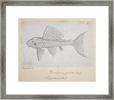 Catfish Framed Print by Natural History Museum, London
