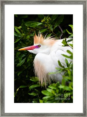 Cattle Egret Framed Print by Dawna  Moore Photography