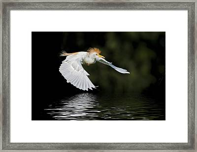 Cattle Egret In Flight Framed Print by Bonnie Barry